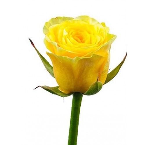 Розы желтые поштучно - фото