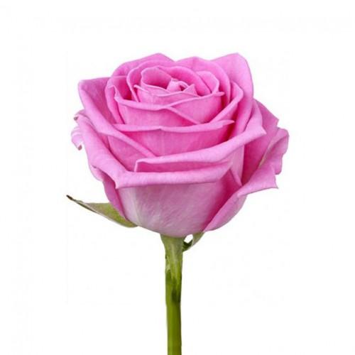 Розы цикламеновые поштучно - фото