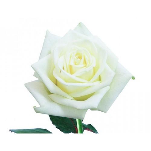 Белые розы поштучно - фото