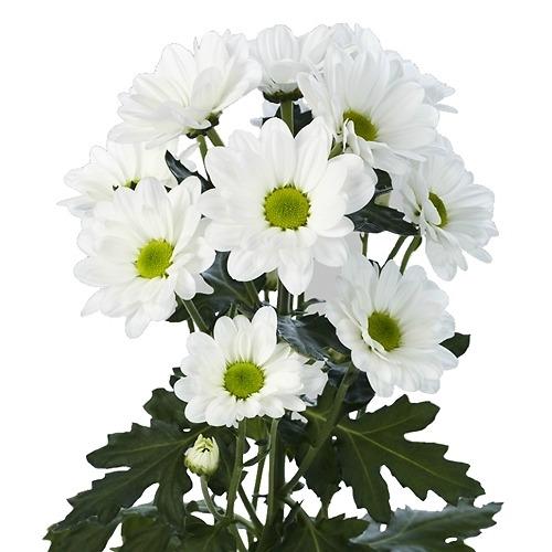 Хризантема кустовая - фото